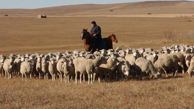Пастух на лошади и овцы в поле