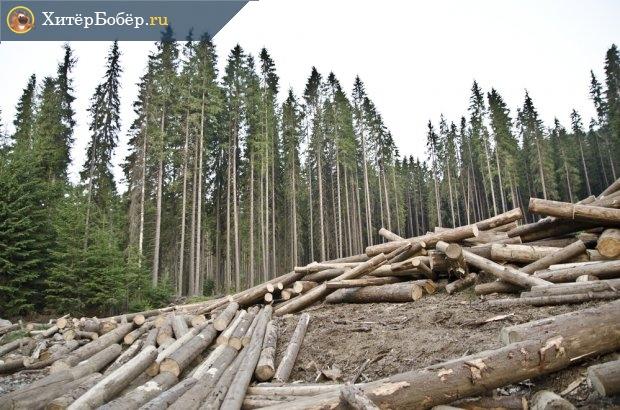 Срубленные деревья на лесозаготовках