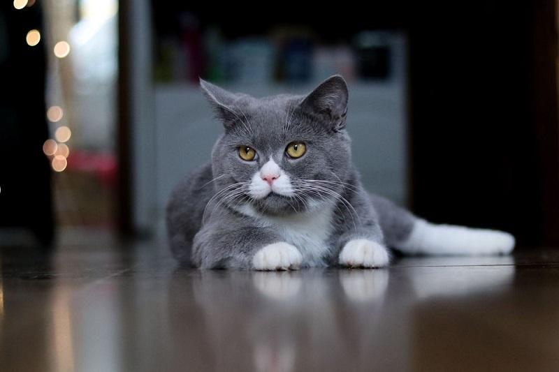 Серый кот с белыми лапами