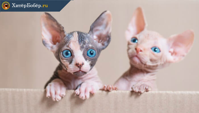 Бизнес идея на дому: разведение породистых кошек